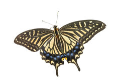 Butterfly (Papilio xuthus) 27 Royalty Free Stock Photography