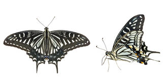 Butterfly (Papilio xuthus) 30 Royalty Free Stock Photography