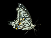 Butterfly (Papilio xuthus) 31 Stock Photos