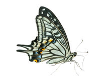 Butterfly (Papilio xuthus) 38 Royalty Free Stock Photos