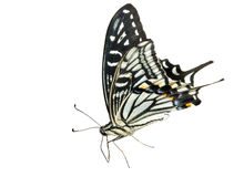 Butterfly (Papilio xuthus) 4 Stock Images