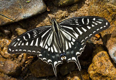 Butterfly (Papilio xuthus) 8 Royalty Free Stock Image