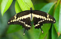 Butterfly Papillio cresphontes Royalty Free Stock Photo