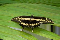Butterfly Papillio cresphontes Royalty Free Stock Image