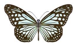 Butterfly Parantica aglea royalty free stock photos