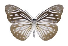 Butterfly Pareronia anais female underside royalty free stock images