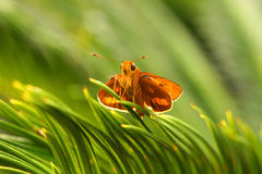 Butterfly in the park. A small orange butterfly is seating on the palm leaves in Roma Street Parklands, Brisbane, Australia Royalty Free Stock Photo