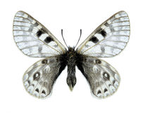 Butterfly Parnassius acco goergneri (male). On a white background Stock Photos