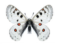 Butterfly Parnassius actius minutus (male) Royalty Free Stock Photography