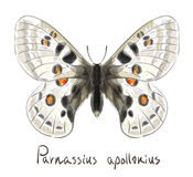 Butterfly Parnassius Apollonius. stock illustration