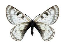 Butterfly Parnassius boedromius boedromius (male) Stock Image