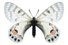 Butterfly Parnassius charltonius vaporosus (female) Stock Photo