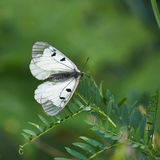 Butterfly Parnassius Mnemosyne . Stock Photo
