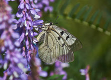 Butterfly Parnassius Mnemosyne. Royalty Free Stock Photos