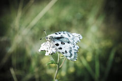 Butterfly Parnassius nomion Royalty Free Stock Photos