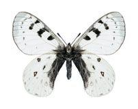 Butterfly Parnassius tenedius britae (male) Stock Images