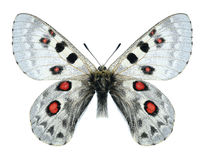 Butterfly Parnassius tianschanicus alexander (male) Royalty Free Stock Image