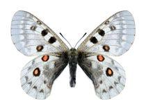 Butterfly Parnassius tianschanicus haberhaueri (male) Royalty Free Stock Photo