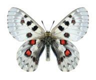Butterfly Parnassius tianschanicus olimpus (male) Stock Image