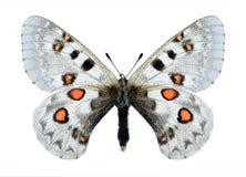 Butterfly Parnassius tianschanicus superbus (female) Royalty Free Stock Photos