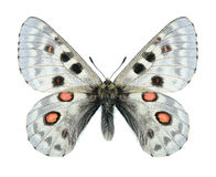 Butterfly Parnassius tianschanicus tianschanicus (male) Royalty Free Stock Photography
