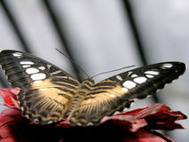 Butterfly (parthenos sylvia) Stock Image
