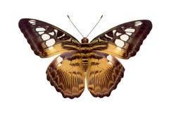 Butterfly Parthenos Sylvia Stock Photography