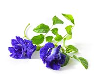 Butterfly pea Royalty Free Stock Photography