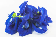 Butterfly pea Royalty Free Stock Images