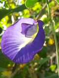 Butterfly Pea Stock Image