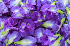 Butterfly pea as background ,Clitoria ternatea Stock Image