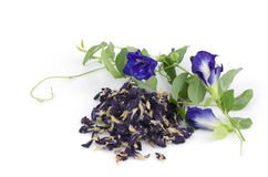 Butterfly pea, Asian pigeonwings dry fresh (Clitoria ternatea L.) Royalty Free Stock Photos