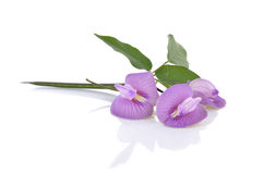 Butterfly pea blossom with leaves on white Stock Photo