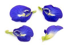 Butterfly pea, blue pea, or asian pigeonwings flower isolated on white background,