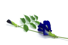 Butterfly pea Stock Photo