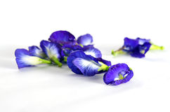 Butterfly pea or Blue pea flowers isolated on white background Royalty Free Stock Photo