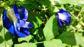 Butterfly pea or blue pea flowers Stock Photo