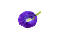 Butterfly Pea . bunga telang Stock Photo