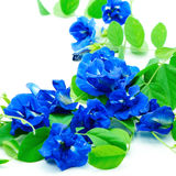 Butterfly Pea Stock Photography
