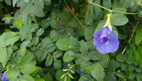 Butterfly pea. Clitoria ternatea Anthocyanin which is responsible for stimulating blood circulation it makes the blood to feed different parts better stock photo