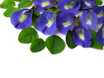 Butterfly Pea Eleven Stock Image