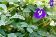 Butterfly pea flower stock image