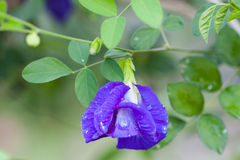 Butterfly pea flower Royalty Free Stock Photography