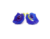 Butterfly Pea Flower. Blue Butterfly Pea Flower isolated on white background Stock Photography