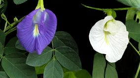 butterfly pea tree Royalty Free Stock Image