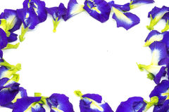 Butterfly pea flower, This flower can coloring matter in Thai dessert having blue and purple color.  Stock Photos
