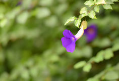 Butterfly pea Royalty Free Stock Photo