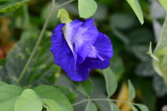 Butterfly pea. Flower is colourful Stock Photography