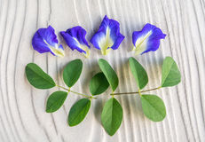 Butterfly pea flower decrease stress. Eat butterfly pea flower decrease stress, relief nerves Stock Image