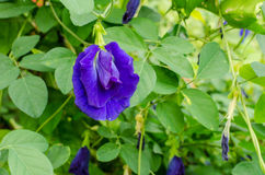 Butterfly pea flower Royalty Free Stock Image